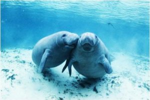 florida-manatee-tours